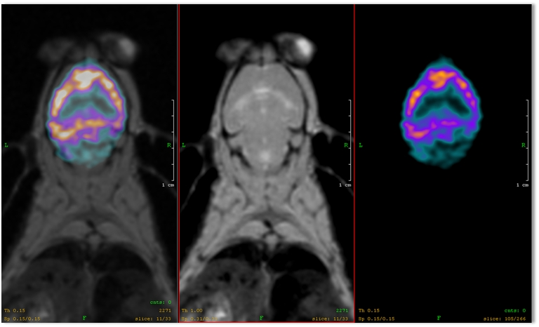 CNS: Benzodiazepine receptors in mouse - SPECT/MRI image of a mouse injected with 7.4 MBq of 123I-NNC13-82431, 3 h post injection, during 30 minutes