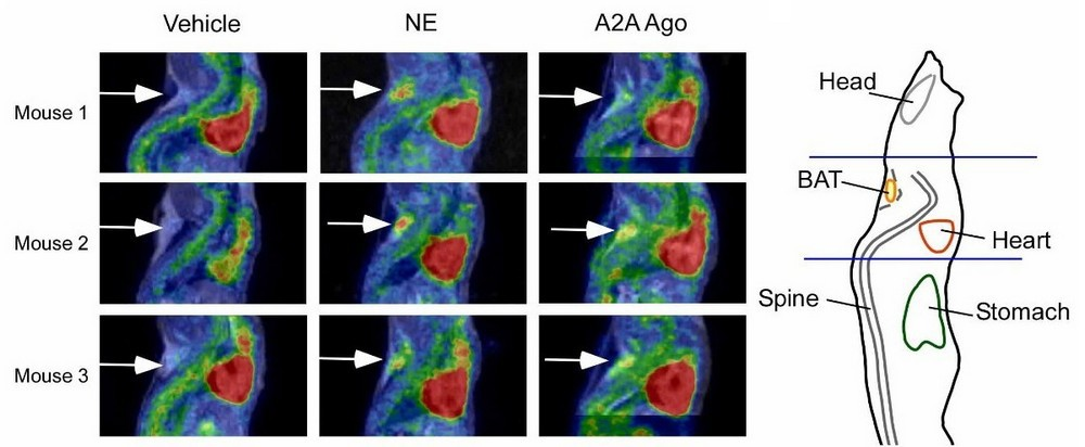 Adenosine activates brown adipose tissue - Nature article featuring nanoScan PET/MRI